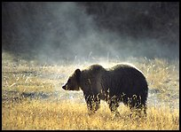 Grizzly bear and thermal steam by Quang-Tuan Luong: