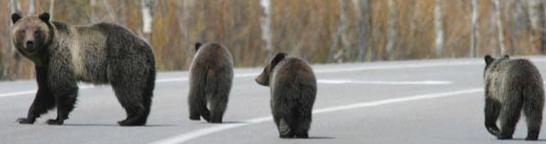 Griz and cubs cross road NPS photo Grand teton park: