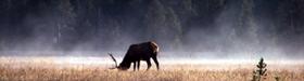 NPS photo bull elk grazing: