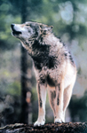 NPS photo gray wolf: