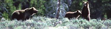 NPS photo three griz: