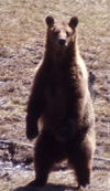 NPS standing grizzly: