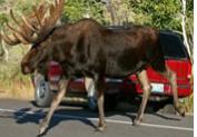 bull moose and SUV NPS photo: