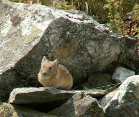 Pika on rock ledge at edge of talus slope: