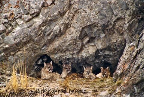 Rick Konrad Images mtn lions: Rick Konrad Images mountain lion family