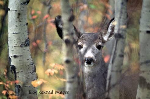 Rick Konrad Images mule deer: Rick Konrad Images photo of mule deer peeking from behind aspens