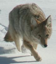 Yellowstone coyote winter 2007: