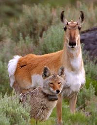 antelope and collared coyote 200 pixels from public domain: