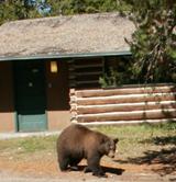bearoutsidecabinatColterbay160ixels: black bear walking just outside a log cabin