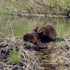 beavers grooming: