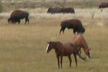 bison and horses grazing 156 pixels: