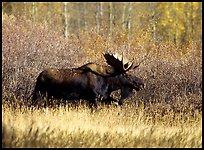 bull moose QTL: