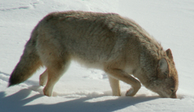 coyote sniffing at tracks in snow: