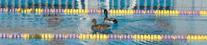 Mallards in pool by George Cullison: