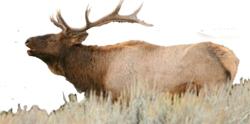 elk bugling GTNP NPS photo: