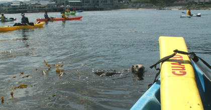 otter among kayakers: