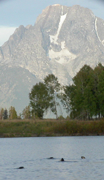 otters at Oxbow Bend and Mount Moran: