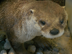 river otter at Rocky Mountain visitor center: