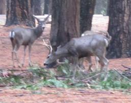 snow camp 2015 deer in campsite: deer in a Yosemite Valley campsite