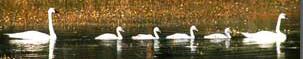 NPS photo swan family: