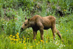 young moose NPS photo: