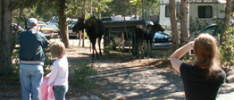 2005 two moose in parking lot.: mom and calf moose in parking lot
