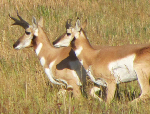 pronghornrunning2010: two pronghorn running side by side