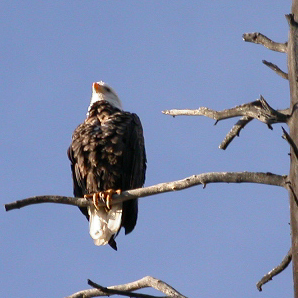 Bald Eagle Sept 2004: