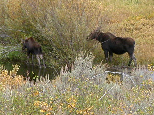Christian Pond mom and calf moose: