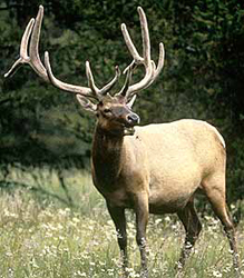 nps elk bugling: photo of an elk with it's mouth open, looking as though it is bugling