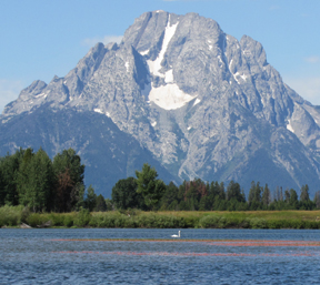 Mount Moran and swan oxbow bend 2011: Mount Moran in the background and swan on the water at oxbow bend on the snake river