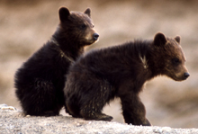NPS grizzly bear cubs 220 pxl: