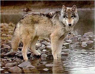 NPS photo gray wolf pauses along riverbank: gray wolf starting to wade into the water