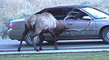 NPS photo of an elk ramming a car:
