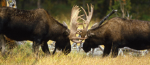 NPS two bull moose sparring 220 pxls: