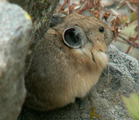 Pika sitting on a rock cascade canyon 200 pixels: little round Pika sitting on a rock.