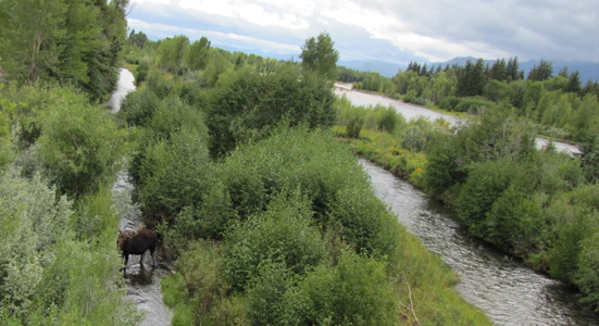 Snake river channels and bull moose: three river channels and one bull moose with rain clouds in background