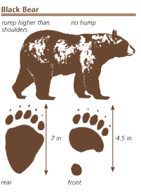 NPR black bear drawing and tracks: drawing of a black bear and front and hind tracks