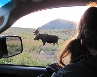 bull moose seen from car 2011: interior of car at window looking at a bull moose walking by