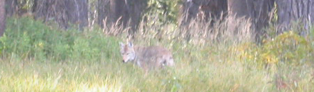 coyote patrolling shore: