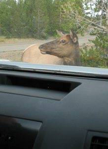 elk browsing in parking lot: an elk browsing in a parking lot directly in front of a car as seen from the car window