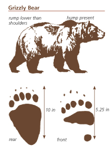NPS griz drawing and tracks: drawing of a grizzley and front and hind tracks