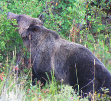 griz photo by Alan ahlstrand: side view of a grizzly bear, head slightly lifted