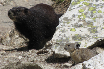 marmot and pica on trail: marmot and pica on trail