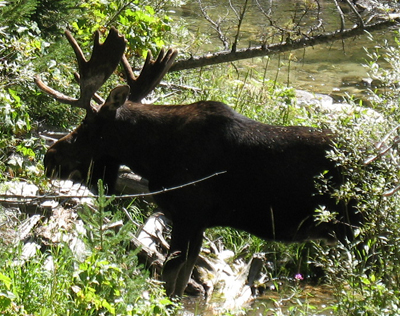moose 2009 Cascade Canyon hike: moose by a creek, still with velvet