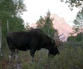 moose and mount moran: