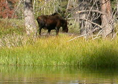 young male moose browsing 2004: