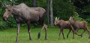 nps photo moose cow 2 calves running after: nps photo of a moose cow with 2 calves running after her