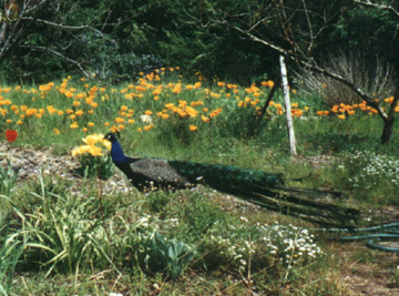 peacock: male peacock in backyard with California poppies in background