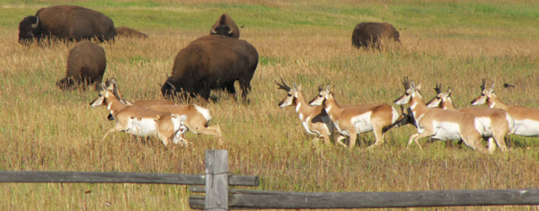 pronghorn and bison Grand Teton park: pronghorn running and bison grazing